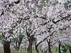 super blossom (theodehaan) Tags: spain andalucia axarqia winterscene allmondtree pinkblossom abundant