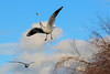 That's mine (stellagrimsdale) Tags: inflight bird gull seagull gulls catching food seagulls sky clouds fluffyclouds cottonwoolclouds birdsinflight