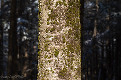 Do you see the forest for the trees? (laszlofromhalifax) Tags: birch tree backyard halifax novascotia canada moss lichen forest woodland