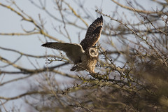 Watch yourself up there! (Chris Bainbridge1) Tags: asioflammeus shortearedowl in flight cambridgeshire canon 5dsr