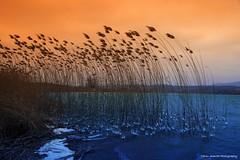 Nature makes it happen (Yarin Asanth) Tags: february winter2018 wintertime frond white snow water ice reed orange blue island mettnau reserve nature lakeconstance yarinasanthphotography gerdkozikfotografie gerdkozik