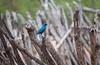 African Birdy (Sas & Rikske) Tags: namibië afrika africa bird vogel himba ericbruyninckx rain riksketervuren deblauwevogelnamibië de blauwe 2017