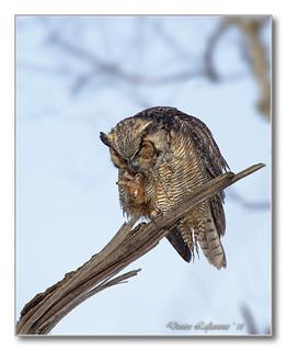 1E1A3050-1-DL   Grand-duc d'Amérique / Great Horned Owl.