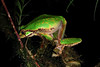 Pelodryadidae: Litoria angiana (K. Zyskowski and Y. Bereshpolova) Tags: hylidae pelodryadidae litoria angiana arfak indonesia papua newguinea