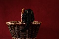 'Red, Basket & Cat' (Jonathan Casey) Tags: cat basket studio tail nikon d810 50mm sigma f14 art