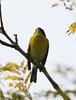 Tropical Parula (tombenson76) Tags: huntingtonbeach setophagapitiayumi tropicalparula