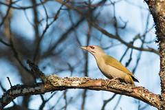 Is there even other birds than woodpeckers? I'm a bit sceptical. (uusija) Tags: grayheadedwoodpecker picuscanus bird harmaapäätikka linnut luonto nature