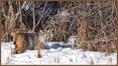 Bobcat strolling away (CrzyCnuk) Tags: bobcat alberta canada canon widllife canon6d nature mammal bigcat