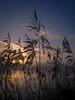 Reeds (iamfisheye) Tags: 1240mm camera em1 f28 kit olympus chigboroughlakes mkii sunrise