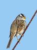 White-Crowned Sparrow (Ed Sivon) Tags: america canon nature lasvegas wildlife wild western southwest desert clarkcounty clark vegas bird henderson nevada nevadadesert park