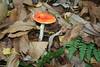 Fungi Time (jocie.uk) Tags: toadstool fungus woodfloor woodland deadleaves