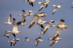 20180221-291-Edit (Dustin Graffa) Tags: animals birds middlecreek places snowgeese snow geese migration spring bird birdinflight pennsylvania canon tamron 150600