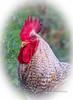 Rooster Portrait (tclaud2002) Tags: rooster chicken farm animal farmanimal stuart florida usa