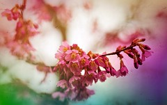 Tree in Blossom ... (Julie Greg) Tags: tree bloom nature colours texture canon5dmarkiv macro flower park blossom pink red green england kent