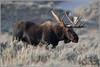 Bull Moose Tetons 4557 (maguire33@verizon.net) Tags: grandtetonnationalpark bull bullmoose moose wildlife wyoming unitedstates us