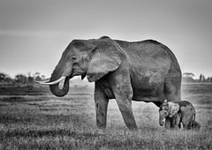 Elephants at Dusk (Photobirder) Tags: elephants motherandcalf amboselinationalpark kenya eastafrica