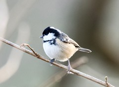 Coal Tit - Taken at Sywell Country Park, Sywell, Northamptonshire. UK (Ian J Hicks) Tags: