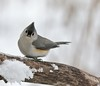 Tufted Titmouse (jmc200903) Tags: tufted titmouse cute adorable plush grey winter snow snowy