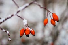 Rose hip in Winter (CHCaptures) Tags: austria blumenundpflanzen hagebutte michaelnbach red winter a7ii fruit hip ilce7ii rosehip sel2470z snow sony variotessartfe42470 bokeh