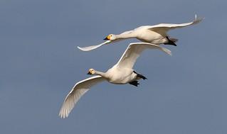Bewick Swan In Flight 010218 (3)