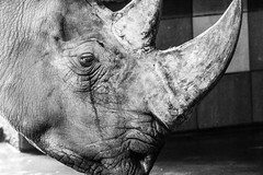 Cry (photoshot1993) Tags: sony alpha 6500 rhino cry crying pleure rhinocéros zoo de la palmyre gros plan visage close up sad triste