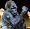 Alter Gorilla (hansjrgenknppel) Tags: alter gorilla old nikon d 850 nikkor 300mm 4 p krefeld zoo deutscland germany hansjuergen knüppel wildtier natur