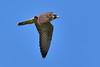 FALCO PELLEGRINO (Falco peregrinus) (Massimo Greco *) Tags: falco pellegrino rapaci coth5 naturethroughthelens