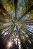 Looking up through mountain ash woods (technodean2000) Tags: looking up tree sun light plant outdoor serene foliage ©technodean2000 lr ps photoshop nik collection nikon technodean2000 flickr photographer flare shine