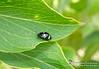 Iphiclus sp. (Marquinhos Aventureiro) Tags: wildlife vida selvagem natureza floresta brasil brazil hx400 marquinhos aventureiro marquinhosaventureiro besouro beetle iphiclus erotylidae adventure nature