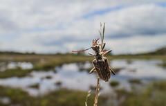 Two-Banded Longhorn - Rhagium Bifasciatum (markhortonphotography) Tags: heathland beetle surrey nnr macro thatmacroguy markhortonphotography heath rhagiumbifasciatum coleoptera thursleycommon nationalnaturereserve insect laowa15mm twobandedlonghorn boardwalk