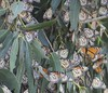 "36 Pismo Beach Monarch Butterfly Grove 2.2.18 • <a style=""font-size:0.8em;"" href=""http://www.flickr.com/photos/36838853@N03/40223823292/"" target=""_blank"">View on Flickr</a>"