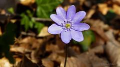 Leberblümchen (Hepatica novilis) (Oerliuschi) Tags: leberblümchen hepaticanovilis natur jakobsberg nahaufnahme panasonicfz150