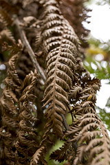 Brown fern (nzcarl) Tags: canon 6d fern ferns brown 2470 f4 canon2470f4 bature tree