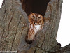 Eastern Screech Owl (tavarez.niurka) Tags: eastern screech owl megascops asio buho lechuza gufo chouette eule coruja