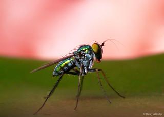 20180216 - 08  Long-legged Fly, Condylostylus sp. circa 5mm.