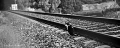 Ese tren que no llega (María Álvarez Sanmartín / rubialva.com) Tags: wwwrubialvacom blancoynegroblackandwhite gatocatchatgatto camino camiño path chemin sentiero