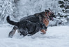 Otto's Heaven- (♞Jenny♞) Tags: otto midnight gsd mcnab snow playing