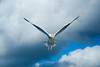 The Byrd (TOM SKY PHOTOGRAPHY) Tags: bird sky flight space moment beauty love blue majestic beautiful candid seagal flying