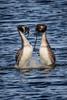 untitled-9040.jpg (Parapan) Tags: canoneos7dmkii greatcrestedgrebes courtship splash sigma birds wildlife avalon marshes hamwall
