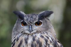 Uhu (svensonkra26) Tags: uhu eule raubvogel nachtvogel waldschule solingen