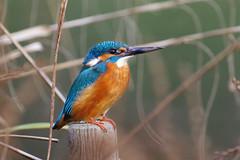 Kingfisher (Hugobian) Tags: kingfisher kingfishers british bird birds nature wildlife fauna animal pentax k1 hemel hempstead water gardens