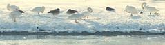 Cygnes et bernaches (Raymonde Contensous) Tags: boisdevincennes lacdaumesnil oiseaux cygnes bernaches nature neige paris lac gel