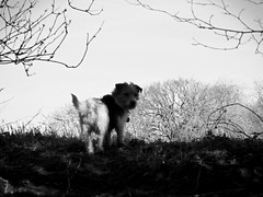 Over the Hill I go... (Gilder Kate) Tags: jackrussellterrier terrier jackrussell jrt dog ducksgreen therfield kelshall hertfordshire icknieldway blackandwhite monochrome panasoniclumixdmctz70 panasoniclumix panasonic lumix dmctz70 tz70 winter