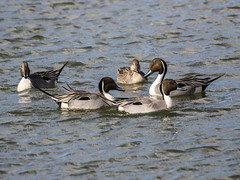 Northern Pintails, Anas acuta (bruce_aird) Tags: