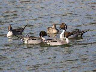 Northern Pintails, Anas acuta
