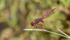 Trithemis annulata (Teo Martínez (temege)) Tags: 2014 insectos insects invertebrados naturaleza nature odonatos anisópteros dragonfly libélulas trithemis annulata rojo red verano summer balsa nikon