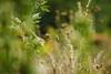 Dance of the grasses (preze) Tags: zart filigree pflanze plant faded outdoor tiefenschärfe romantisch romantic verträumt delicate harmonic harmony stängel verblüht feld schärfentiefe light licht bokeh efs18135 green grün