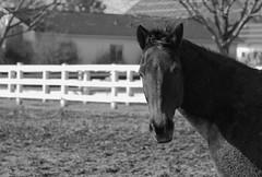 Horse, Danada Forest Preserve. 17 (EOS) (Mega-Magpie) Tags: canon eos 60d outdoors danada forest preserve wheaton il dupage illinois usa america horse equine bw black white mono monochrome fence