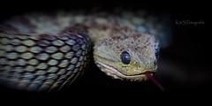 Attention (K&S-Fotografie) Tags: shape curve metallic steel buschviper schlange snake achtung attention makro tier