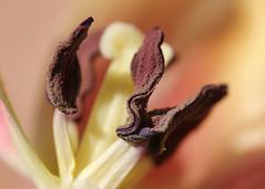 060/365 Inside (Helen Orozco) Tags: 60365 stamen tulip anther flower 2018365 pollen